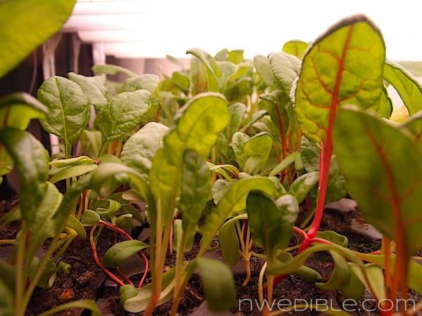 Chard Seedlings