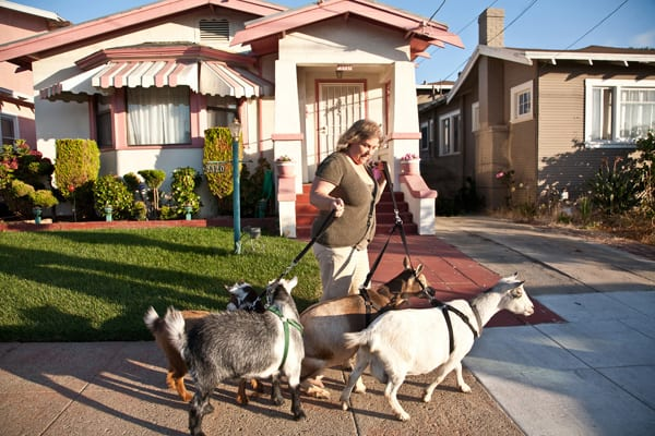 Kitty Sharkey walks her Nigerian dwarf goats in her East Oakland neighborhood.