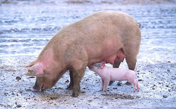 Sow_with_piglet