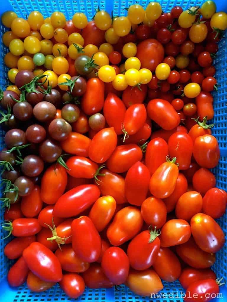tomato-bounty
