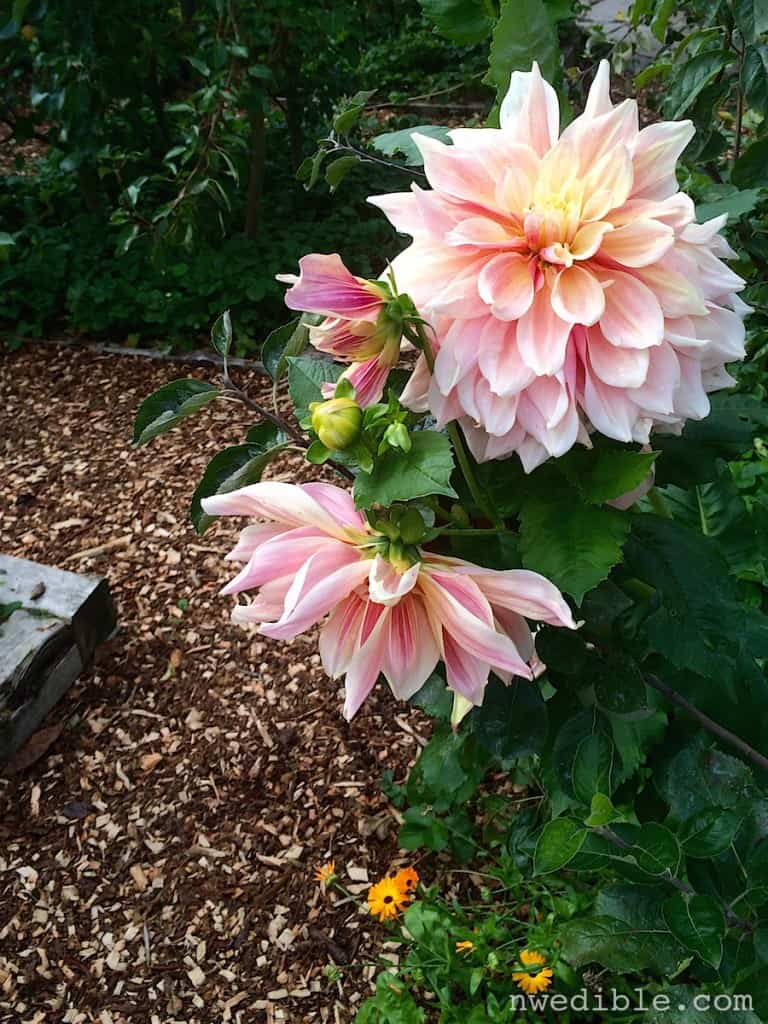 When in doubt: lots of mulch. And dinner plate dahlias.
