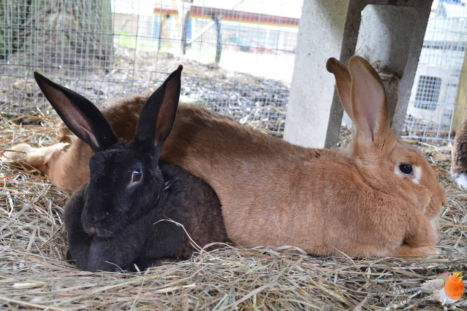 Meat Rabbits Truths No Homesteading Article Tells You   Northwest ...