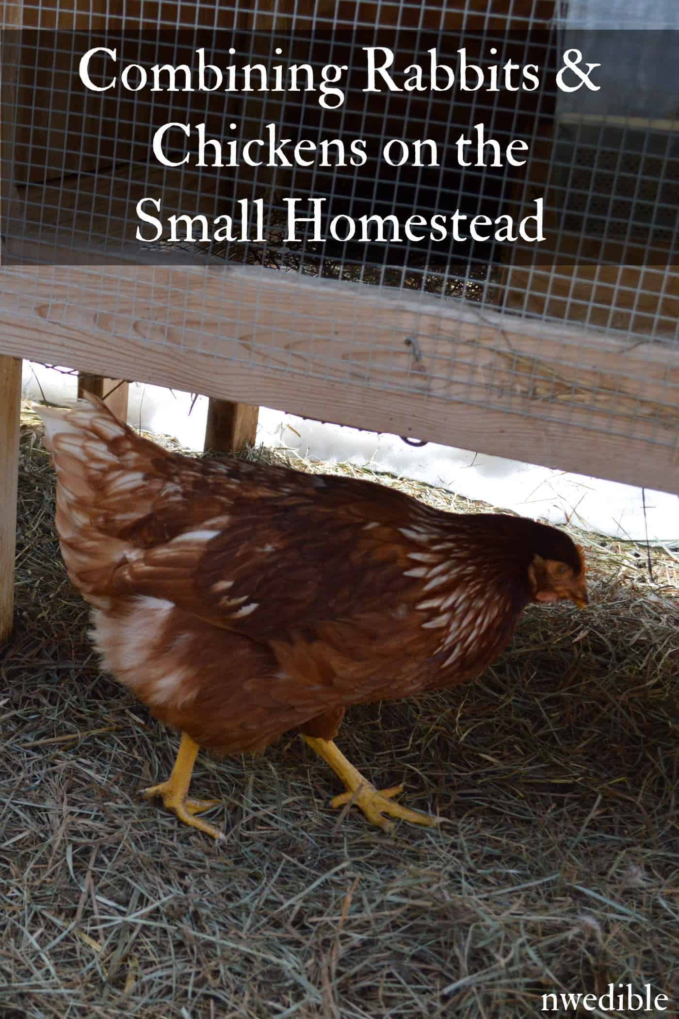 How To Combine Rabbits and Chickens for Homestead Animal