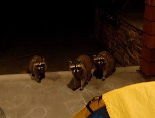Midnight Marauders In Suburbia