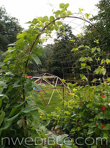 Diy Concrete Mesh And Rebar Trellis Northwest Edible Life