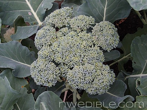 When and how to harvest broccoli and cauliflower northwest edible life loose mightylinksfo
