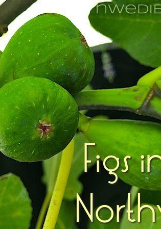 Figs in the Pacific Northwest: Will My Unripe Figs Ripen?
