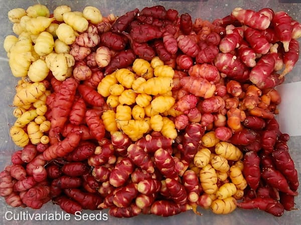 Oca Harvest