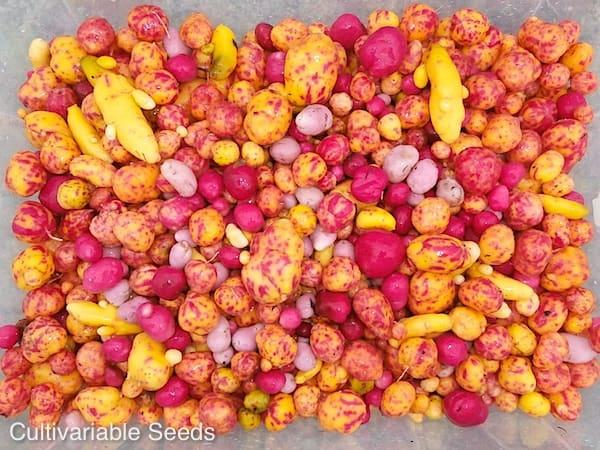 Ulluco Harvest