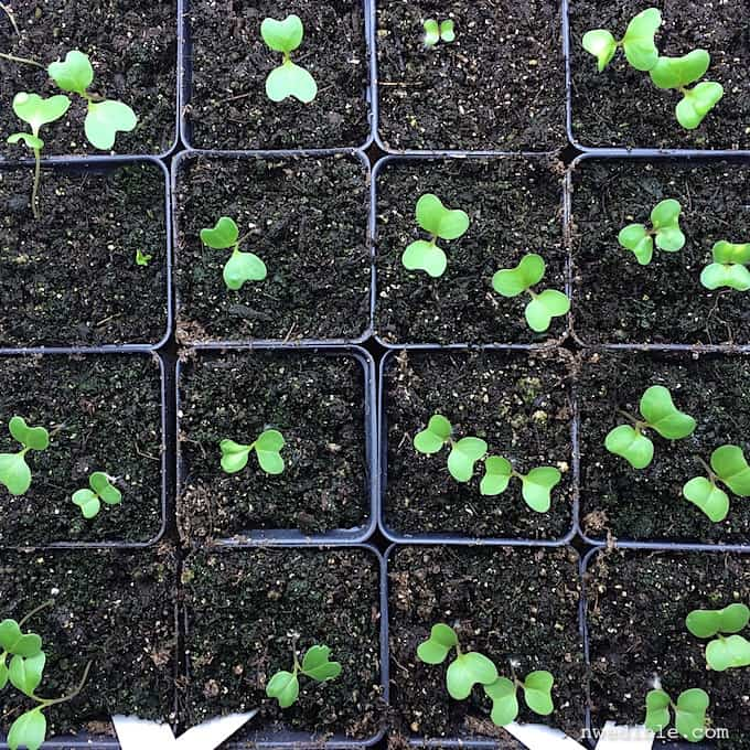 Brassica Seedlings