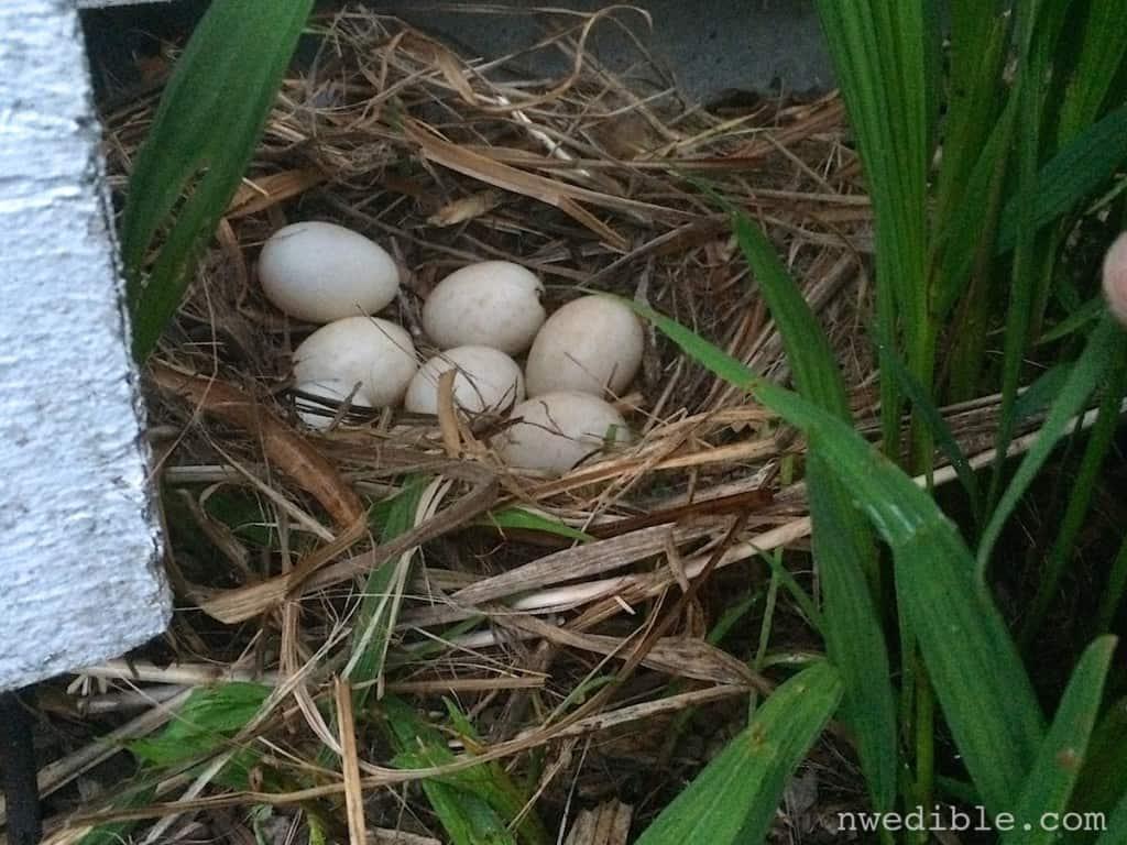 Duck Nest95