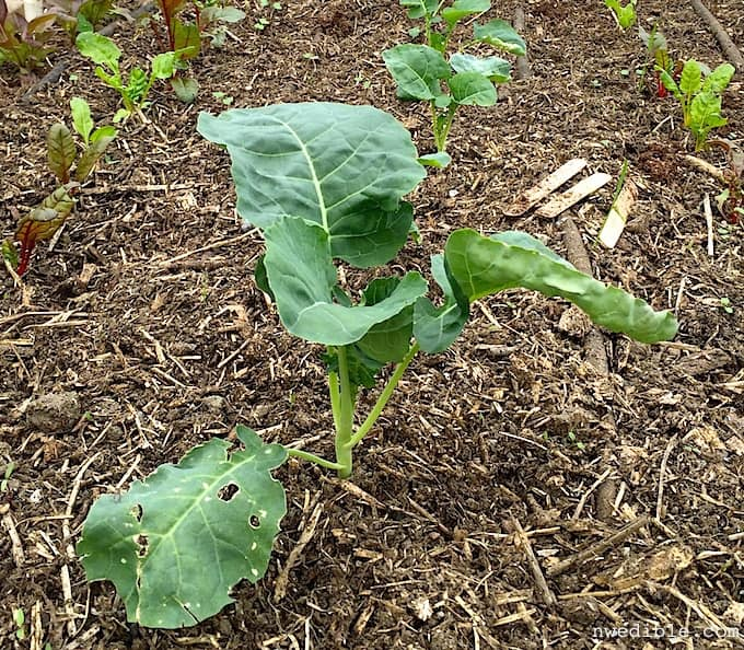 Transplanted Broccoli