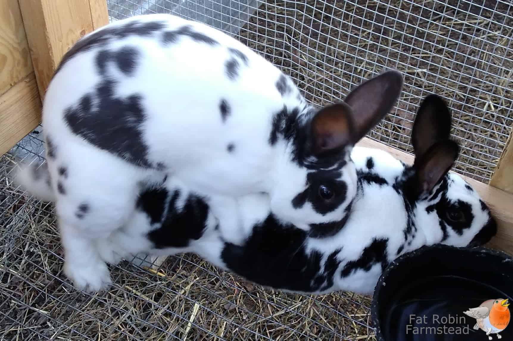 Rabbit Keeping rabbits mating